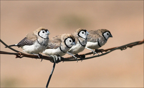 Double-barred Finches (c) 2008 aaardvaark, some rights reserved