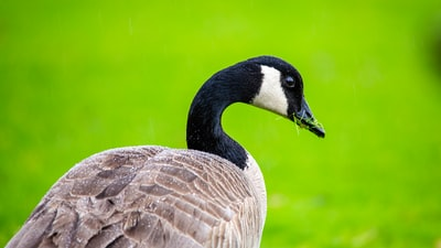 goose image