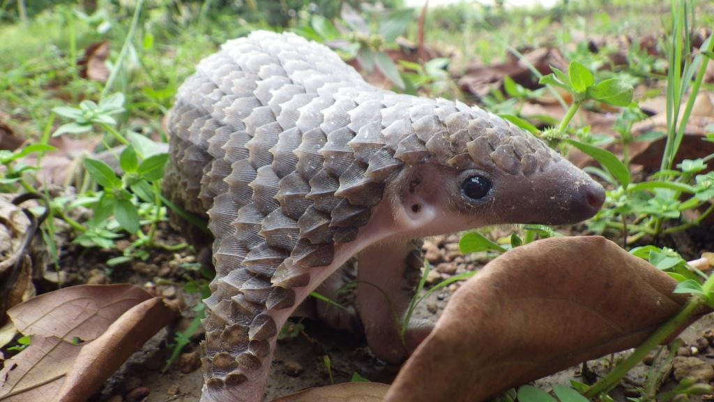Pangolins are protected species!