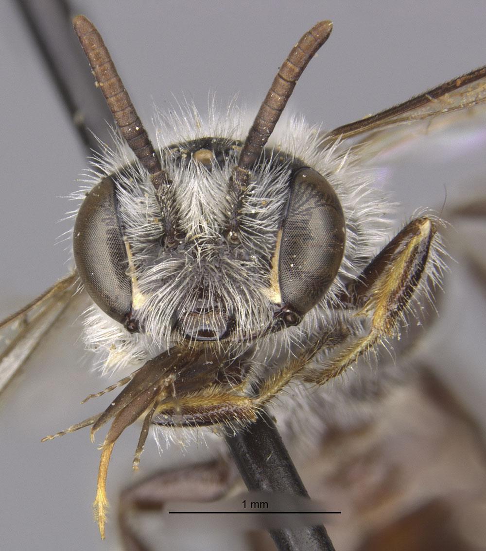 Nomadopsis puellae MCZ:Ent:17219 head