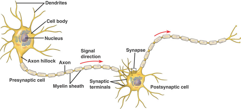 Psychology 3 4chapter7 at master leaenpsychology 3 4 github draw a diagram of a neuron and label key structual features ccuart Gallery