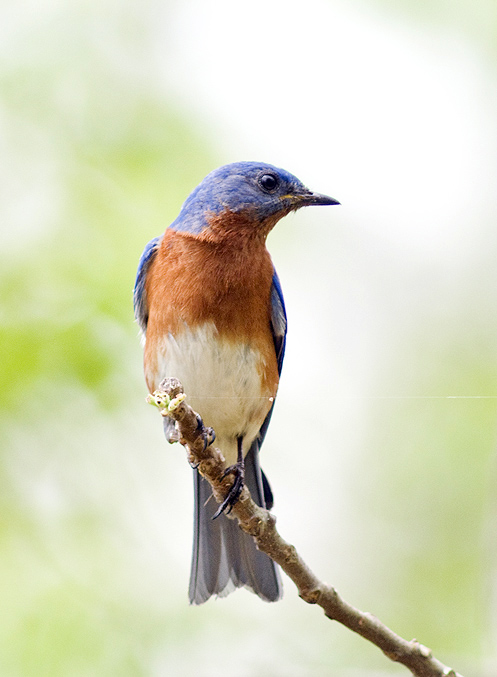 Eastern bluebird (c) 2008 Doug Greenberg, some rights reserved reserved