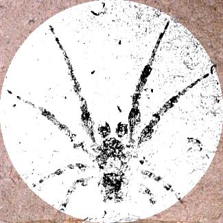 Tethneus, an orb weaving spider
