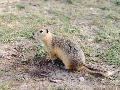 Picture of Gopher