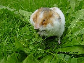 Hamster Wikimedia Image