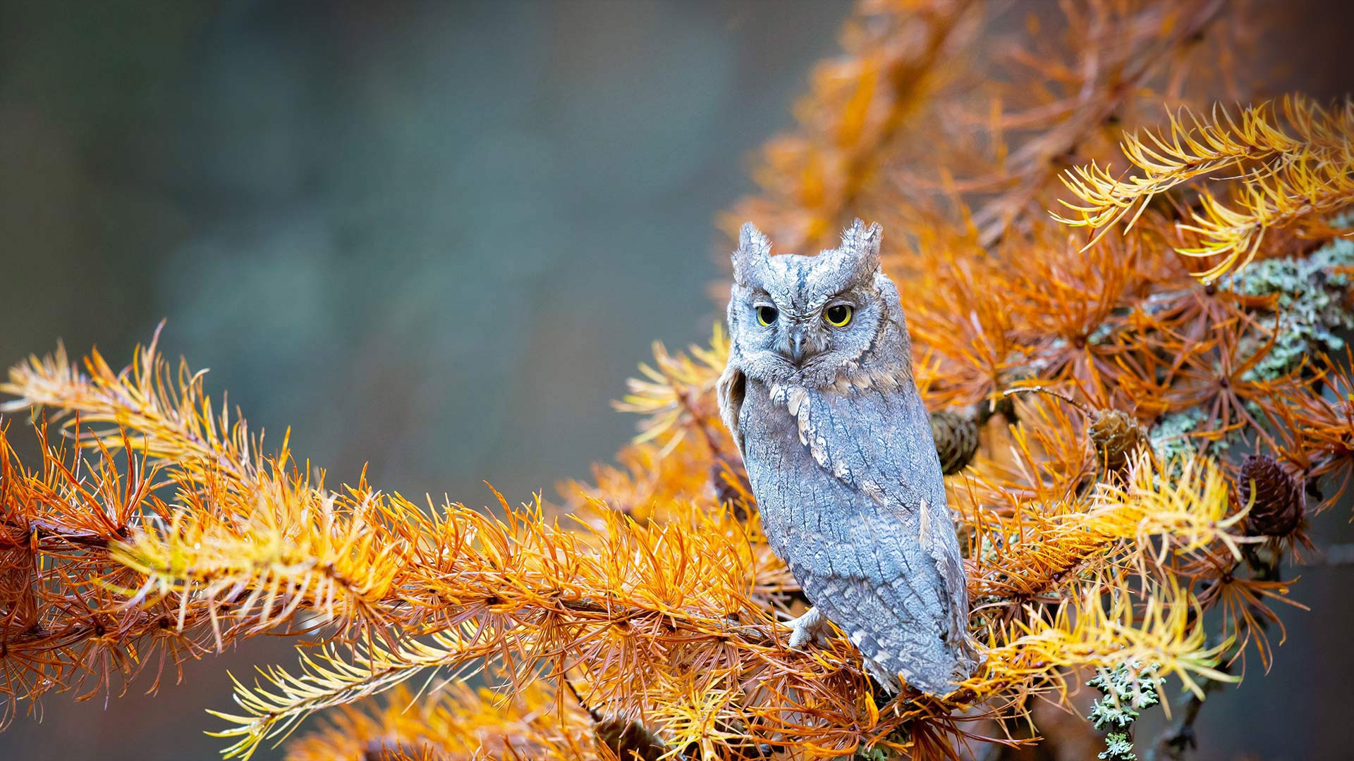 Eurasian scops owl in Bohemian Switzerland National Park, Czech Republic (© Milan Zygmunt/Alamy)