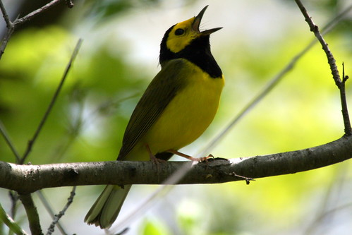 Hooded Warbler (c) 2008 birdfreak.com, some rights reserved