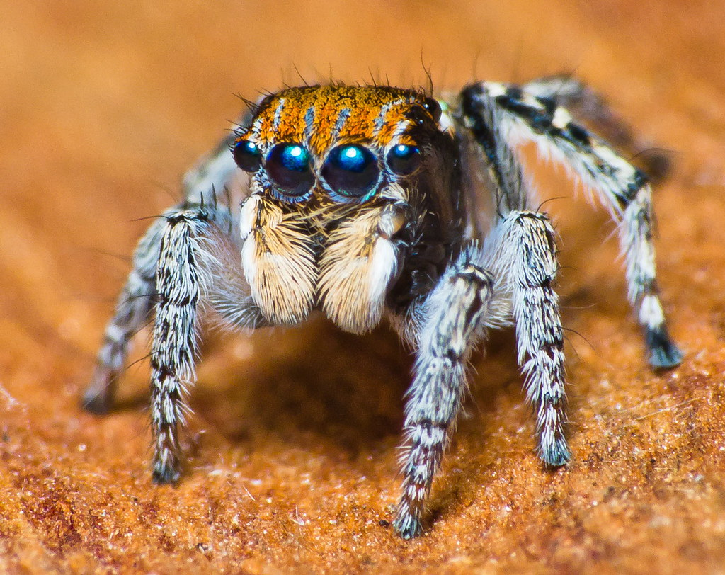 Salticidae Maratus sp.