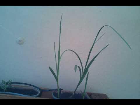 Vídeo: TimeLapse del crecimiento de una planta de ajo II