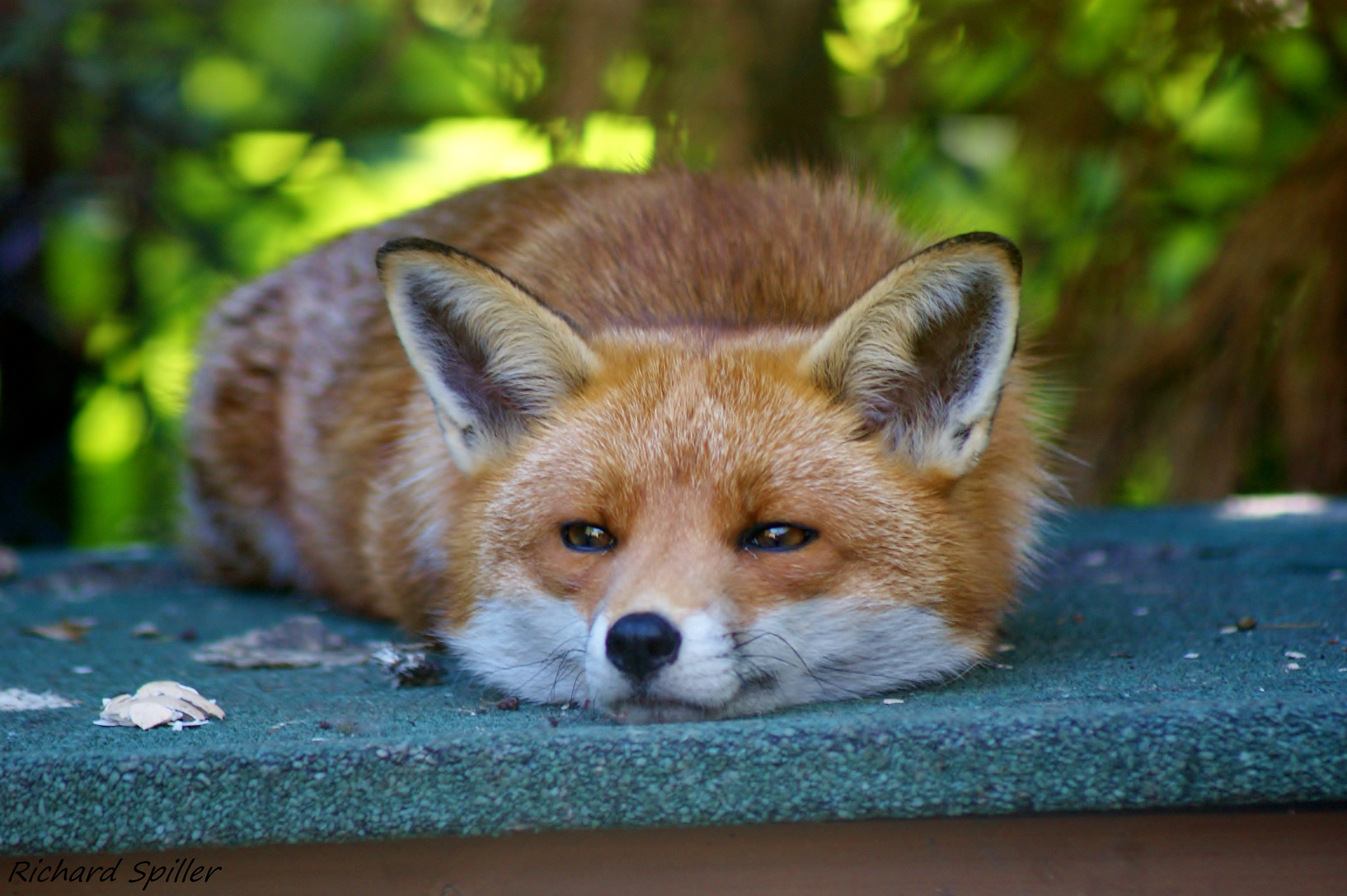 Image Of Release Fox