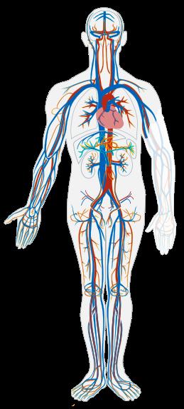 human vasculatory system
