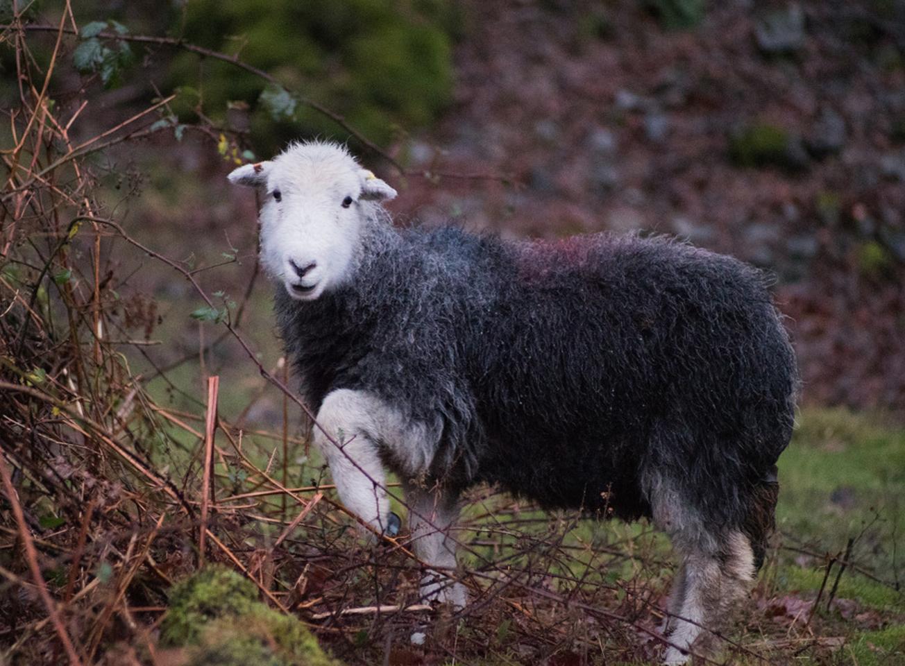 Candid Sheep
