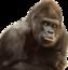 Ape is not a monkey