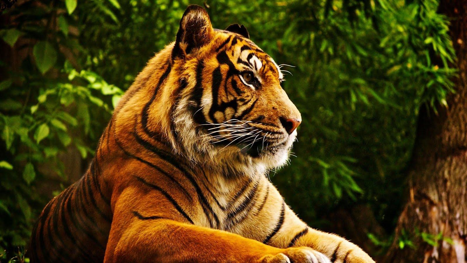 tiger_hd-1920x1080
