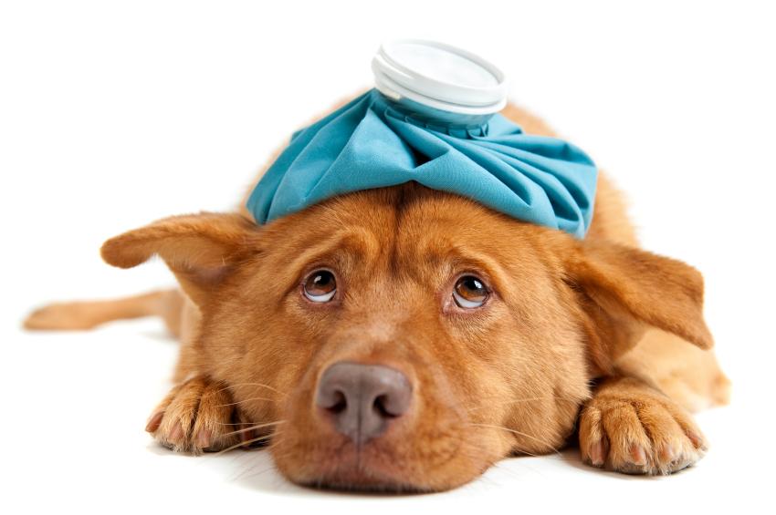 chorý pes