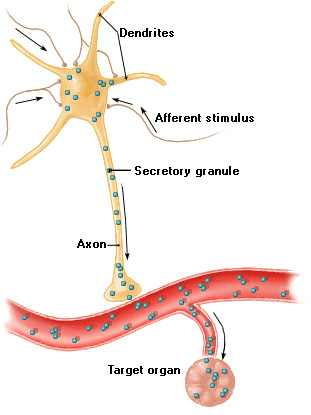 Neuroendokrin rendszer