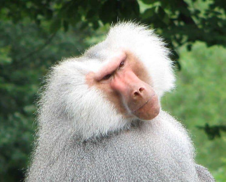 baboob