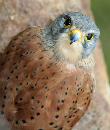 Kestrel (c) 2006 Ian Turk, some rights reserved