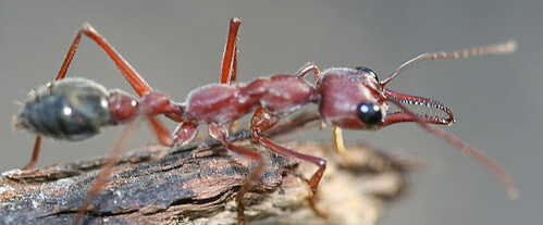 Giant Bulldog Ant